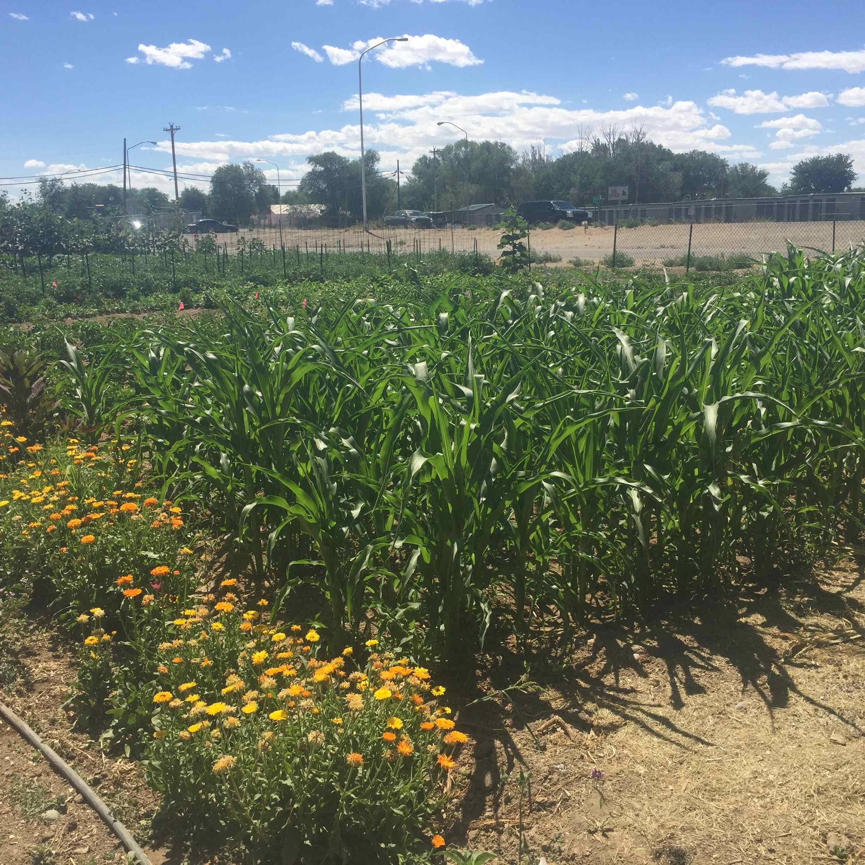 Greydanus Garden, N.E corner Highway 491 # 64  (300 yards west of mile post 23)