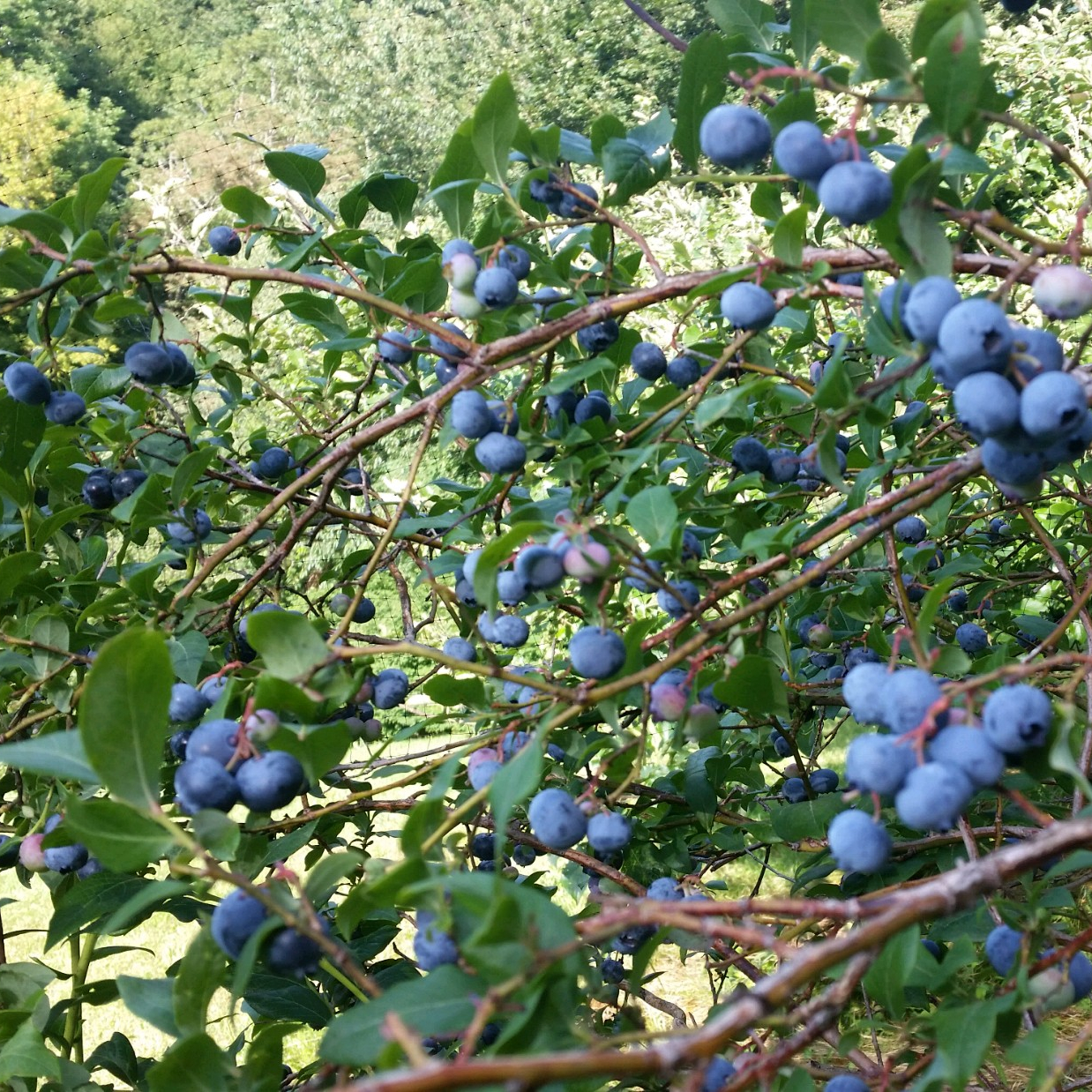 J&D Blueberry Farm