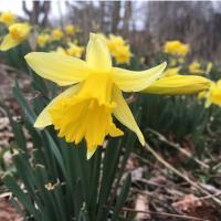 Daffodil Spring Farm