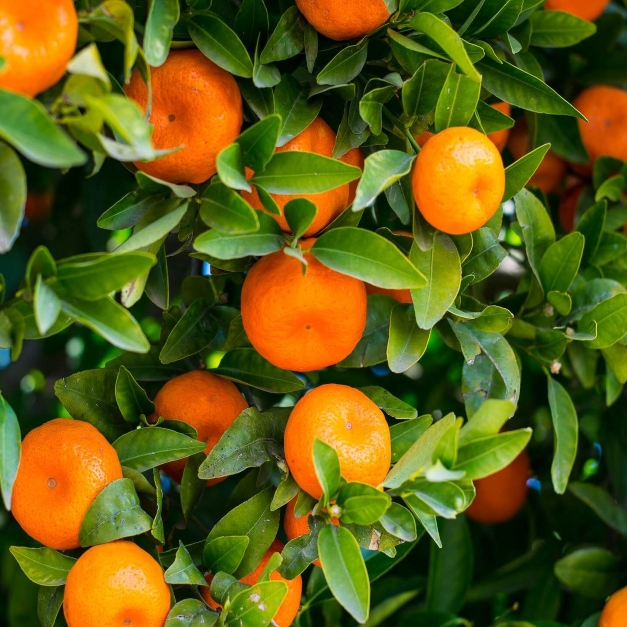 Orland Oranges