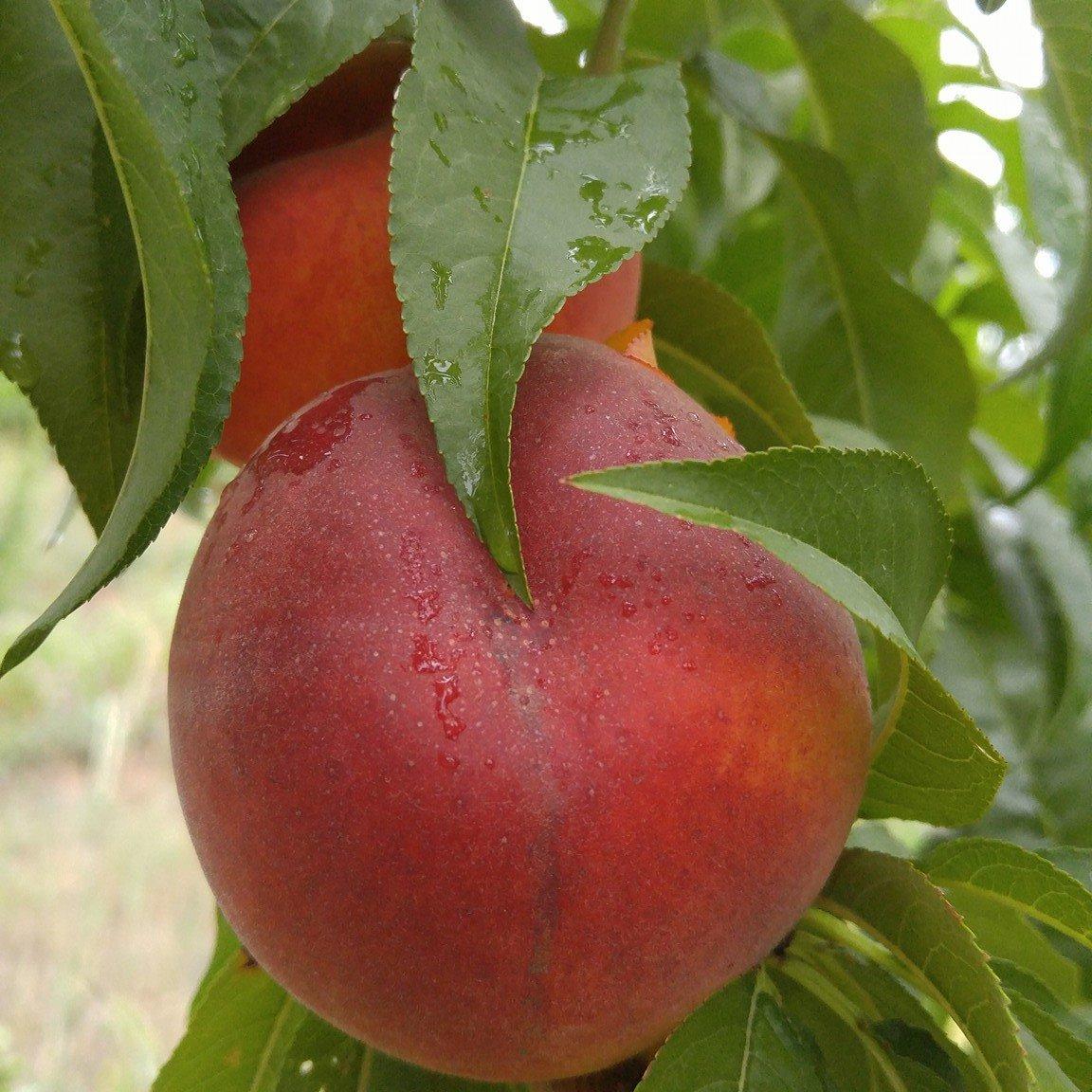 Forbidden Fruit Orchard