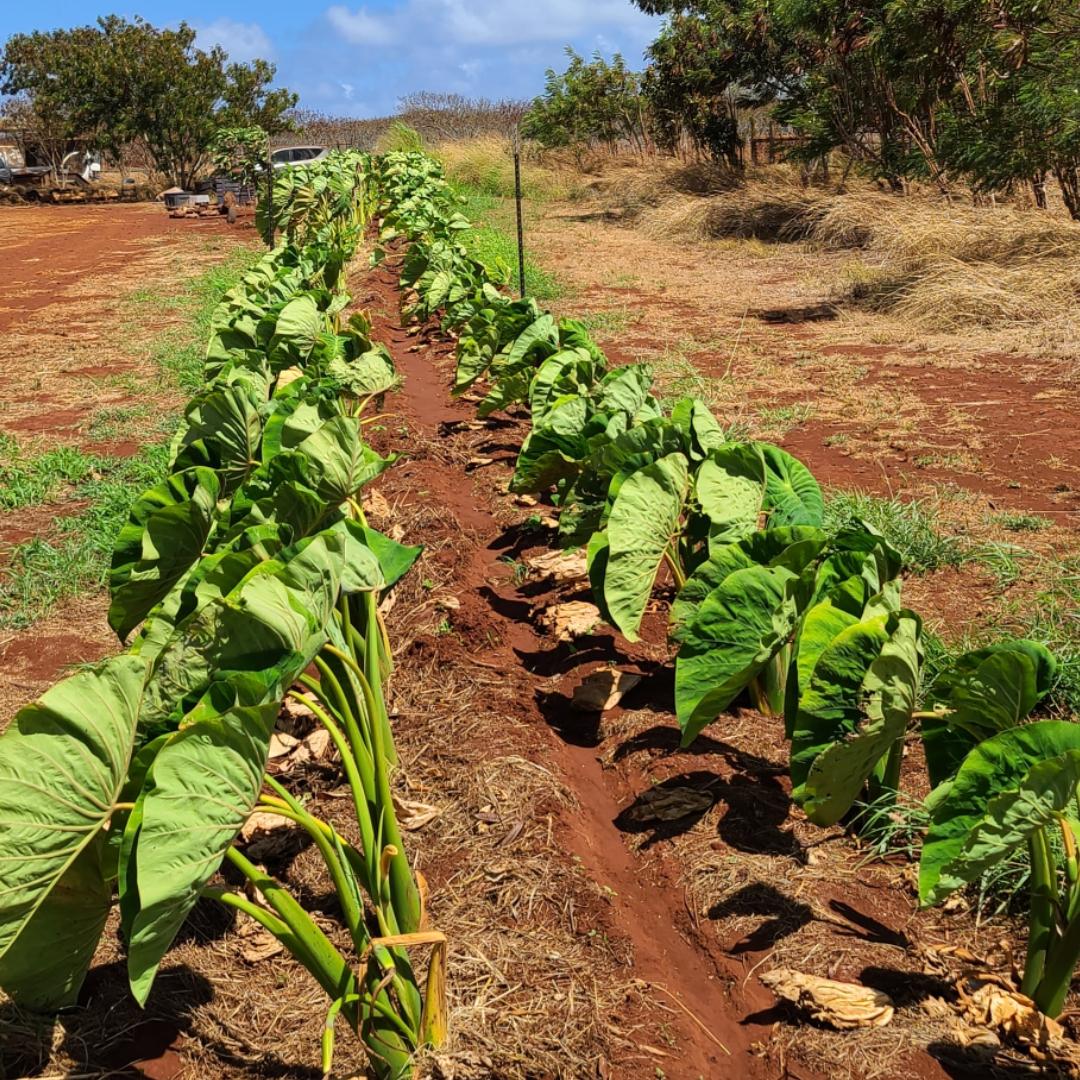 Ekolu Mea Nui Farms