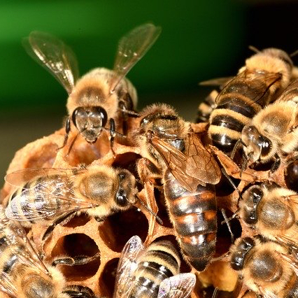 Stillman Honey