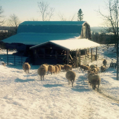 Bonnechere Lamb