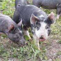 Pleasant Valley Swine