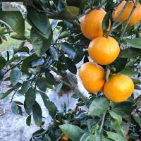 Florida Georgia Citrus