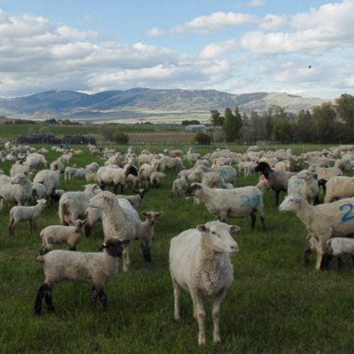 Montana Highland Lamb