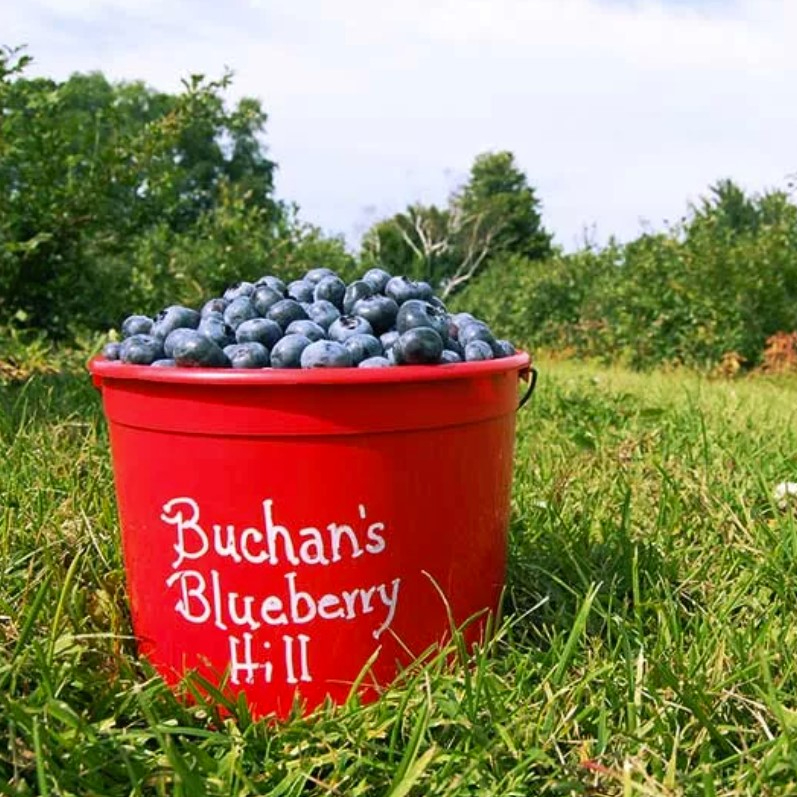 Buchans Blueberry Hill