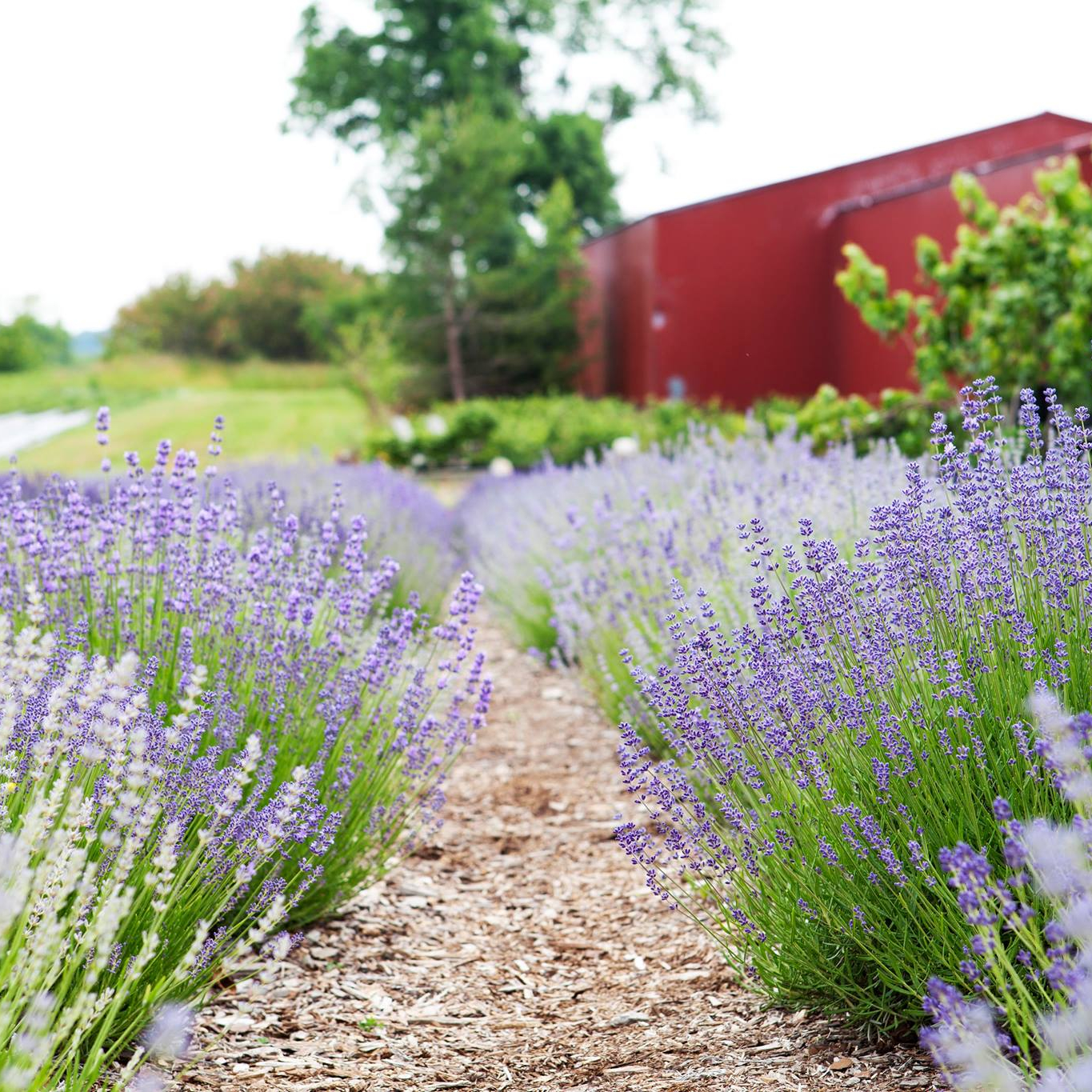 Harbor View Lavender Farm