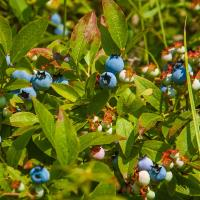 Aroland Youth Blueberries