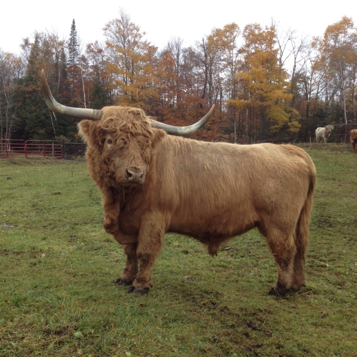 Mackinac Highland Beef